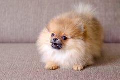 Pequeño perrito pomeranian divertido que raspa en el sofá fotos de archivo