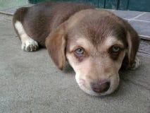 Pequeño perrito que coloca foto de archivo libre de regalías