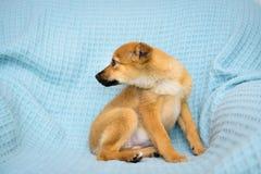 Pequeño perrito rojo Imagen de archivo libre de regalías