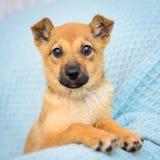 Pequeño perrito rojo Fotografía de archivo