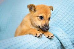 Pequeño perrito rojo Imagen de archivo