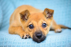 Pequeño perrito rojo Fotos de archivo libres de regalías