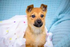 Pequeño perrito rojo Fotografía de archivo libre de regalías