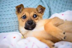 Pequeño perrito rojo Imágenes de archivo libres de regalías