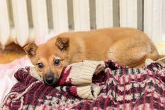 Pequeño perrito rojo Foto de archivo
