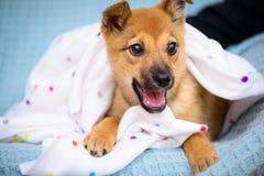 Pequeño perrito rojo Foto de archivo libre de regalías