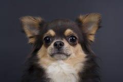 Pequeño perro Imagen de archivo