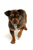 Pequeño perro fotos de archivo libres de regalías