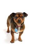 Pequeño perro Fotos de archivo