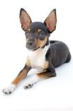 Pequeño perro Fotografía de archivo