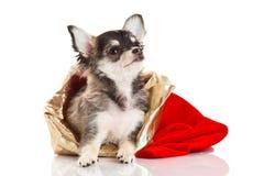 Pequeño perro aislado en el fondo blanco Fotografía de archivo libre de regalías
