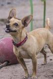 Pequeño perro alegre Imágenes de archivo libres de regalías