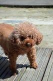 Pequeño perro anaranjado Fotos de archivo