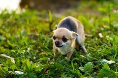 Pequeño perro asustado de la chihuahua Imágenes de archivo libres de regalías
