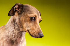 Pequeño perro basset marrón del pelo corto Fotografía de archivo libre de regalías