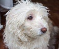 Pequeño perro blanco foto de archivo