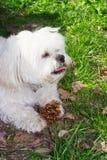 Pequeño perro blanco Fotografía de archivo