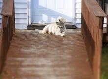 Pequeño perro blanco Foto de archivo libre de regalías