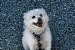 Pequeño perro blanco cómodo imagen de archivo libre de regalías