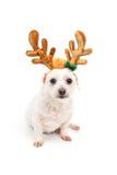 Pequeño perro blanco con los oídos de la cornamenta imagen de archivo