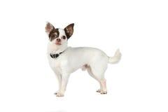 Pequeño perro blanco con los oídos negros grandes Fotografía de archivo