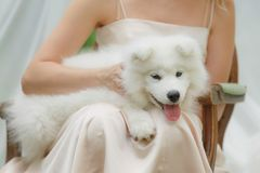 Pequeño perro blanco con una muchacha Fotografía de archivo libre de regalías
