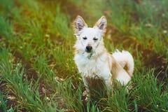 Pequeño perro blanco en campo Imagenes de archivo