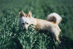 Pequeño perro blanco en campo Imagen de archivo