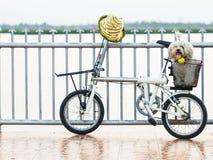 Pequeño perro blanco que se sienta en una cesta de la bicicleta Foto de archivo libre de regalías