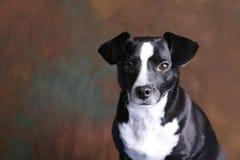 Pequeño perro casero serio contra el fondo marrón 2 Imagen de archivo libre de regalías