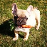 Pequeño perro con la zanahoria Fotografía de archivo libre de regalías