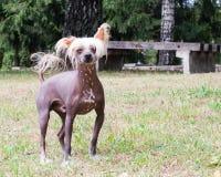 Pequeño perro con un corte de pelo de moda Foto de archivo