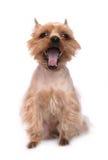 Pequeño perro de bostezo Imagen de archivo libre de regalías