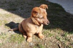 Pequeño perro de Brown Foto de archivo