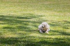 Pequeño perro de caniche blanco que juega en la hierba con un palillo Fotos de archivo libres de regalías