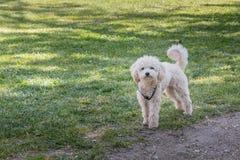 Pequeño perro de caniche blanco que se coloca en hierba verde Fotos de archivo