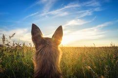 Pequeño perro de la chihuahua que disfruta de puesta del sol de oro en hierba Se coloca de nuevo a cámara en campo colorido Cielo Fotos de archivo