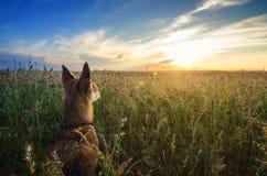Pequeño perro de la chihuahua que disfruta de puesta del sol de oro en hierba Se coloca de nuevo a cámara en campo colorido Cielo Imagen de archivo libre de regalías