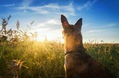 Pequeño perro de la chihuahua que disfruta de puesta del sol de oro en hierba Se coloca de nuevo a cámara en campo colorido Cielo Foto de archivo