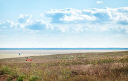 Pequeño perro de la chihuahua que disfruta de puesta del sol de oro en hierba Se coloca lateral a la cámara en campo colorido Cie Imágenes de archivo libres de regalías