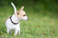 Pequeño perro de la chihuahua que se coloca en hierba verde Imágenes de archivo libres de regalías