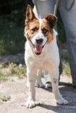 Pequeño perro de pastor mezclado encantador de la raza que sonríe al aire libre mientras que en un paseo en el parque con el owne Imagen de archivo