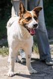 Pequeño perro de pastor mezclado encantador de la raza que sonríe al aire libre mientras que en un paseo en el parque con el owne Foto de archivo libre de regalías