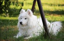 Pequeño perro de perrito blanco del samoyedo en el jardín Imagenes de archivo