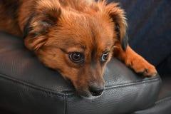 Pequeño perro de perrito con los ojos asombrosos grandes fotos de archivo libres de regalías