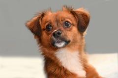 Pequeño perro de perrito con los ojos asombrosos grandes imágenes de archivo libres de regalías