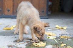 Pequeño perro de perrito vasco del pastor ââsniffing las hojas secadas Fotos de archivo libres de regalías