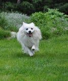 Pequeño perro de Pomerania blanco runing Fotos de archivo libres de regalías
