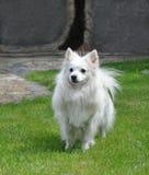 Pequeño perro de Pomerania blanco runing Foto de archivo libre de regalías