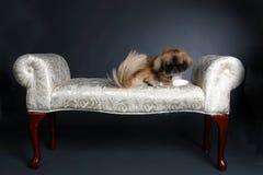 Pequeño perro de regazo que se sienta en banco Imagenes de archivo